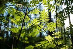 Листья рябины Стоковая Фотография