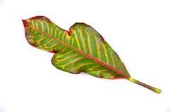 листья сада croton Стоковые Изображения
