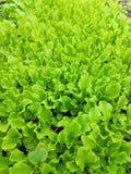 Листья салата стоковые изображения