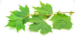 Листья самолета стоковое фото