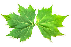 Листья самолета Стоковые Изображения RF