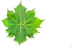 Листья самолета стоковое фото rf