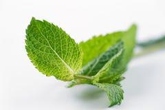 Листья свежей мяты огромно популярны для чая и свежих соков и салатов стоковое фото