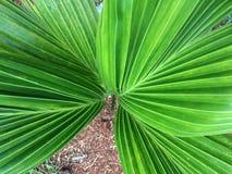 Листья свежие зеленые ладони стоковое изображение rf