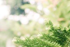 Листья секвой закрывают вверх с blured винтажной предпосылкой Стоковое Изображение RF