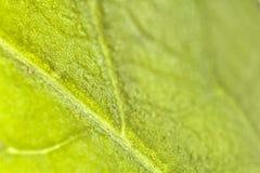 Листья сельдерея Стоковое Изображение RF