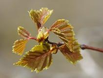 Листья серебряной березы Стоковые Фото