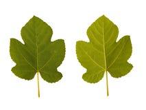 листья смоквы одно встают на сторону 2 Стоковые Фото