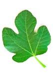 листья смоквы Стоковая Фотография RF