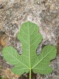 Листья смоквы стоковые изображения