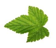 Листья смородины изолированные на белизне Стоковые Фотографии RF