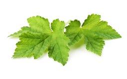 листья смородины Стоковые Изображения