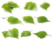листья собрания березы Стоковое Изображение RF