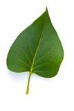 листья совершенные Стоковая Фотография RF