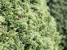 Листья сосен Стоковое фото RF