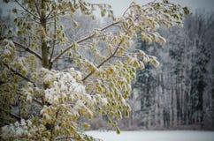 Листья сосны ветви дерева зимы Стоковые Фото