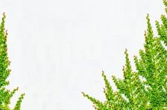 Листья стены и плюща предпосылки старые Стоковое Изображение