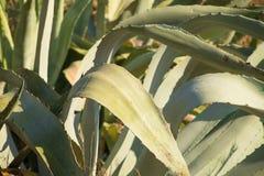 Листья столетника Стоковая Фотография RF