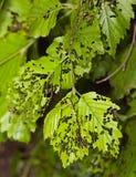 Листья съеденные прочь гусеницы Стоковые Фотографии RF