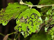 Листья съеденные прочь гусеницы Стоковая Фотография