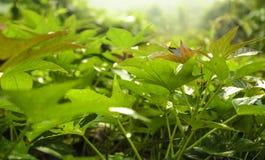 Листья сладкого картофеля Стоковая Фотография