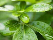 Листья с капельками Стоковое фото RF