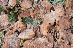 Листья с новый выходить роста покрыли в заморозке стоковое изображение rf