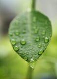 Листья с падениями воды Стоковое Изображение RF
