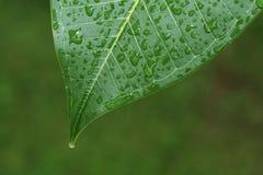 Листья с падениями воды Стоковое Фото