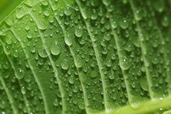 Листья с падениями воды Стоковое фото RF