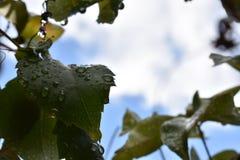 Листья с падениями Стоковые Изображения