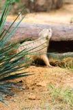 Листья с предпосылкой meerkat Стоковые Изображения