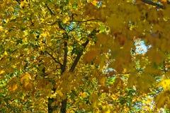 Листья с цветами ПАДЕНИЯ - желтым цветом Стоковые Фото