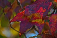 Листья с цветами ПАДЕНИЯ - красный цвет и желтый цвет Стоковые Изображения