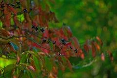 Листья с цветами ПАДЕНИЯ - красный цвет и зеленый цвет Стоковое Изображение