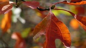 Листья с цветами ПАДЕНИЯ - красным цветом Стоковая Фотография