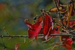 Листья с цветами ПАДЕНИЯ - красным цветом Стоковые Изображения RF
