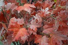 Листья с яркими блесками, украшение красного цвета рождества стоковые изображения rf