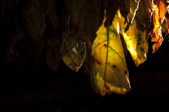 Листья табака засыхания, Куба Стоковое фото RF