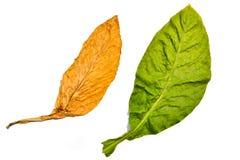 Листья табака на белой предпосылке Стоковое Изображение RF