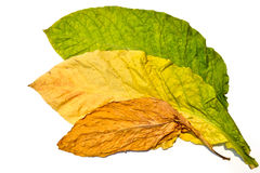 Листья табака на белой предпосылке Стоковая Фотография