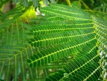 Листья тамаринда конца-вверх свежие зеленые с селективным фокусом стоковая фотография