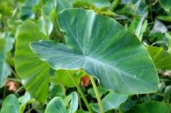Листья таро Стоковая Фотография