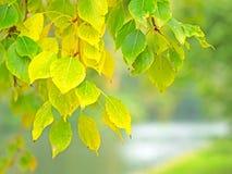 Листья тополя в осени Стоковая Фотография RF
