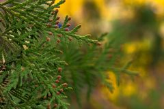 Листья туи весной стоковая фотография rf