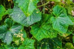 Листья тыквы Стоковая Фотография RF