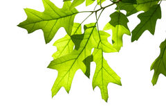 Листья дуба весны на ветви изолированной на белизне Стоковое фото RF