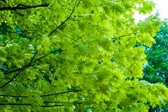 Листья дуба на ветви Стоковая Фотография RF