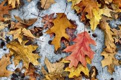 Листья дуба на снеге Стоковые Изображения