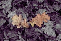 Листья дуба осени красивые упаденные Стоковые Фото